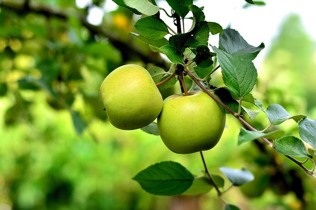 Amintiri cusute cu parfum de mere verzi
